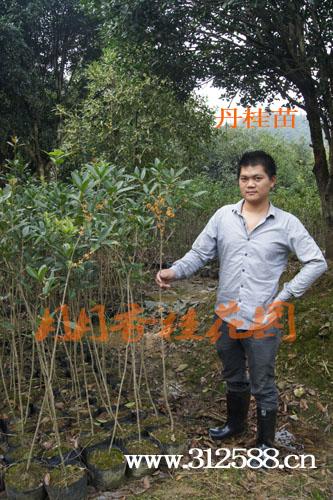 2公分桂花树